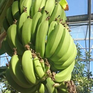 bananes-dordogne-périgord