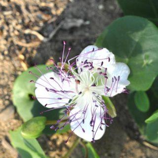 caprier-plante-méditerranée-plantes-exceptionnel-dordogne