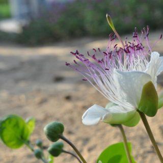 caprier-plante-méditerranée-plantes-rare