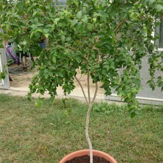 cerisier-cayenne-en-pot