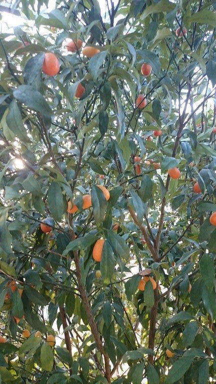 Le kumquat Nagami