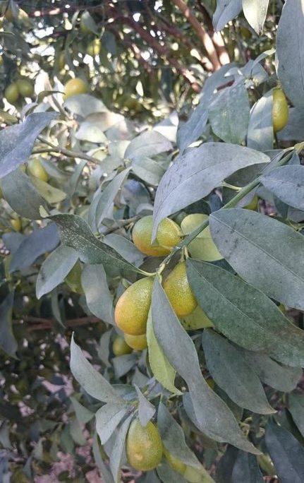 Le kumquat Nagami, vente de plants en Dordogne (SudOuest)